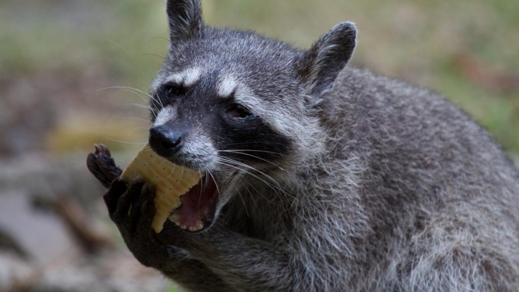 raccoons eat